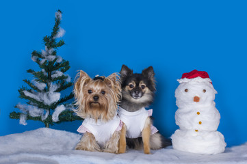yorkshersky Terrier and Pomeranian winter background with snowma