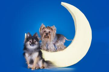 Yorkshire terrier sleeping on the moon