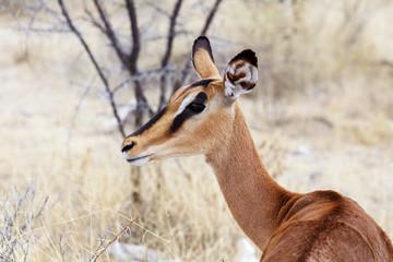 Portrait of Impala antelope
