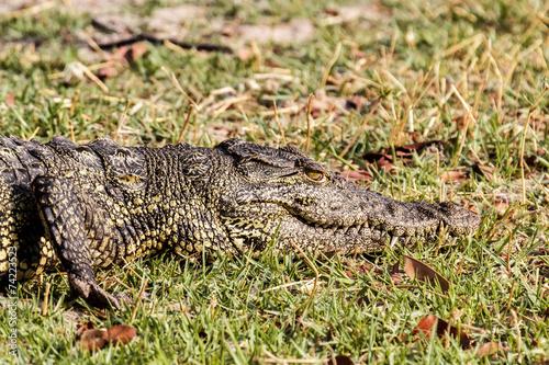 Foto op Plexiglas Krokodil Portrait of a Nile Crocodile