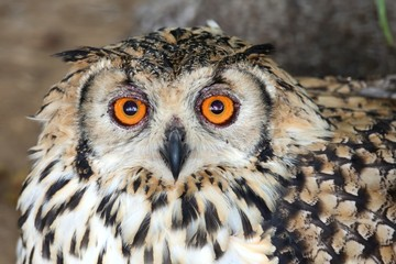 Cape Eagle Owl Bird