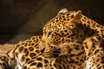 leopard panther resting