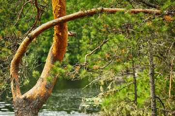Beautifully bent pine trunk in summertime on water background