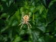 Leinwanddruck Bild - Spider