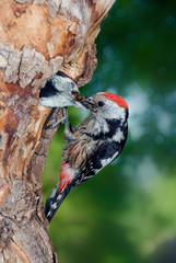 Middle spotted woodpecker feeding chick in nest