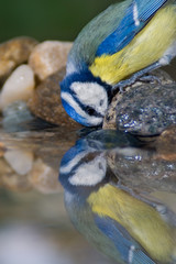 Blue tit drinking water and reflection