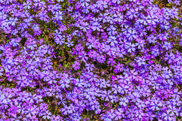 Purple moss phlox flowers and red of one side