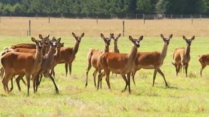 Herd of deer, argodom, New Zealand