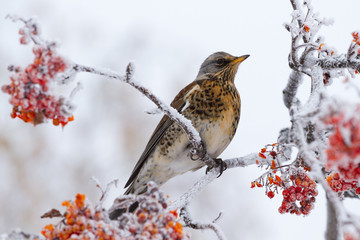 Thrush siting on a rowan tree