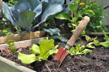 plantation de semis de salade