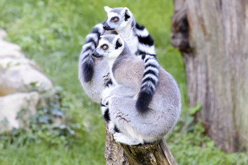Two Lemurs sitting on a Log