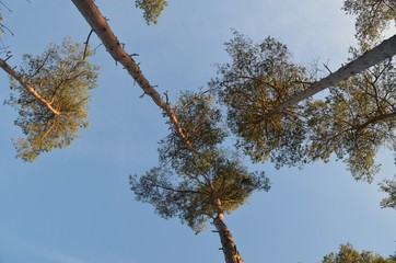 Pine forest against blue sky