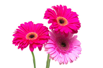 gerbera isolated on white background close-up