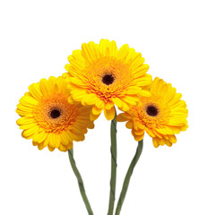 yellow gerbera flowers isolated on white background close-up