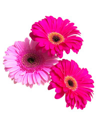 Three beautiful gerbera flower isolated on white background