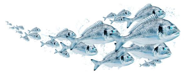 Fischschwarm, Dorade 0007