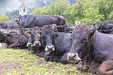 Cows group on italian dolomites
