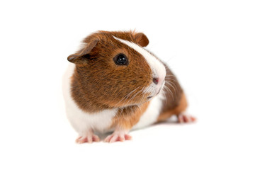 Brown, white and orange guinea pig taken with a white background