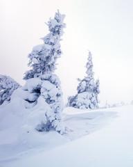 Winter landscape of snowy pine tree