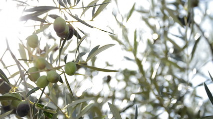Olives hanging at branch of olive tree in a plantation