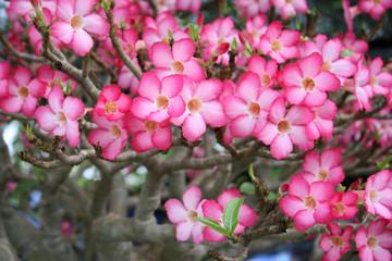 Desert rose, Impala Lily, Azalea for texture