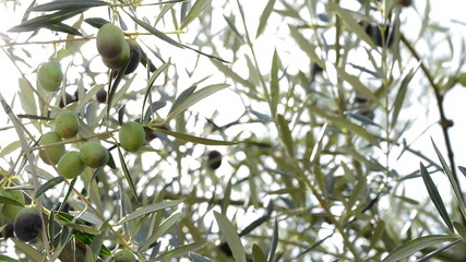 Olives hanging at branc in olive tree at sunset