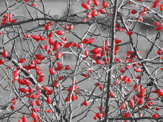 Wild rose (Rosa Canina). Selective color effect.