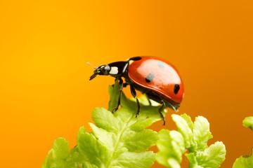 Nice ladybug on fern on orange background