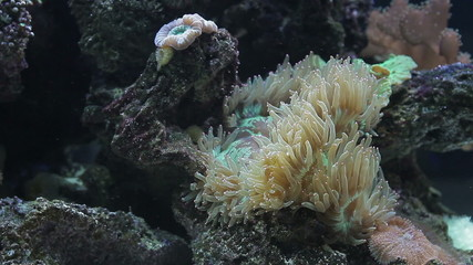 Anemone in marine aquarium