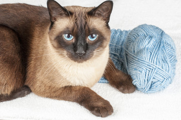 siamese cat lying on scarf with wool