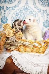 Frettchen küssen sich in der Stube