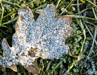 Frozen leaf of oak in cold weather