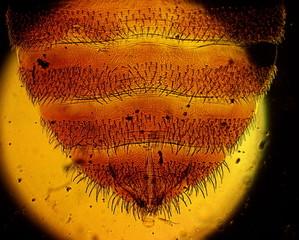 Common bed bug (Cimex lectularius) female abdomen apex