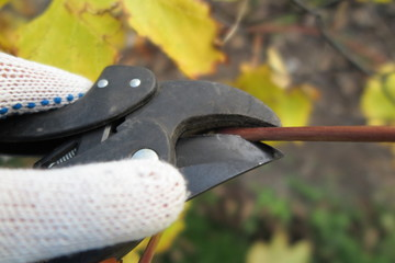 Pruning a vine with a garden secateur in the autumn garden