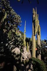Huge cactuses (Monaco / France)