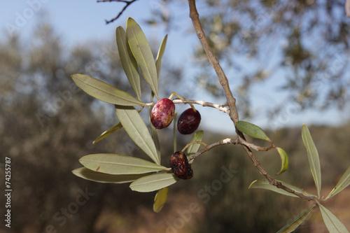 Aluminium Olijfboom diseases affected olive trees