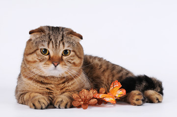 Cute scottish fold cat