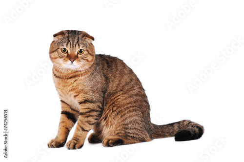 Deurstickers Vlinder Scottish fold cat portrait