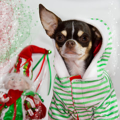 Adorable chuhuahua with Christmas background.
