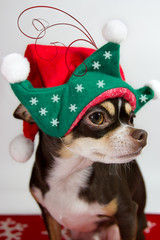 Adorable chihuahua with Christmas background.
