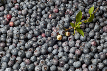Blueberry Montage 1
