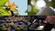 Different moments in the line of mango harvest in 4K format