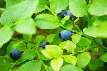 Bilberry shrub with ripened berries.