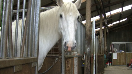 White horse in stall turning head