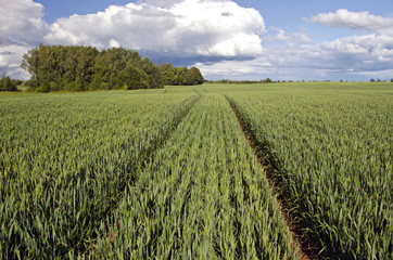 summer time wheat crop field