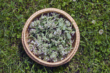 medical lemon balm flowers in basket on  garden grass