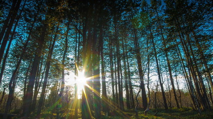 Sun breaking through pine trees Time lapse