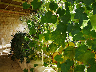 Pergola covered by hanging grapevines grapes