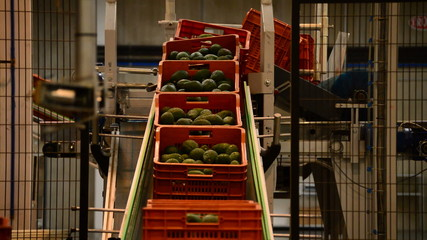 Boxes avocados in packaging line