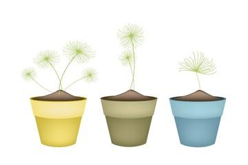 Cyperus Papyrus Plant in Ceramic Flower Pots